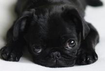 Pugs!! <3