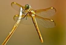 Dragonfly / by Susan Serr