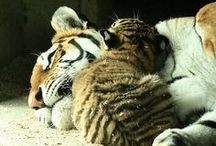 Tigers <3 / by Whitney Lampher