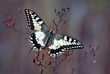 Butterflies / 蝶