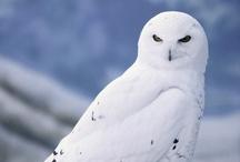 Owls / フクロウ 梟