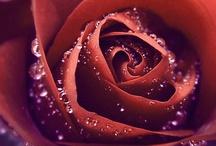 Roses / バラ 薔薇