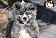 AKITA INU / Japanese Akita - Akita inu breed