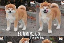 Akita puppies / Japanese Akita inu puppies