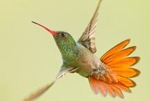 Hummingbirds / ハチドリ 蜂鳥