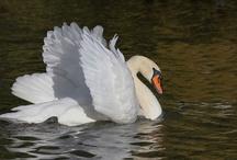 Aquatic Birds / 水鳥