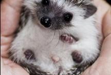 hedgehogs / by Nancy Renner