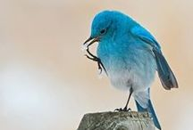 Blue Birds / 青い鳥
