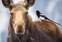 Moose and Magpies / Lots of moose and magpies! (Plus a few more)