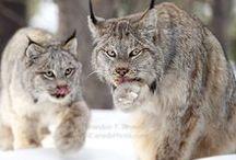 Lynx canadensis / Canadian lynx!