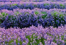 Lavender / All about Lavender. If you want to add pins to this board please add a note on our Facebook time line http://www.facebook.com/ShootGardening with the name of the board(s) you want to pin to. No ads please. / by Shoot Gardening