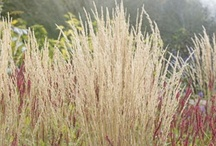 Calamagrostis / All about Calamagrostis. If you want to add pins to this board please add a note on our Facebook time line http://www.facebook.com/ShootGardening with the name of the board(s) you want to pin to. No ads please. / by Shoot Gardening
