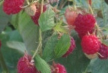 Gardening: Fruits : Berries & Trees / by Debra Collins