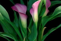 Calla lily / All about Calla lily. If you want to add pins to this board please add a note on our Facebook time line http://www.facebook.com/ShootGardening with the name of the board(s) you want to pin to. No ads please. / by Shoot Gardening