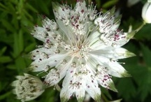 Astrantia (Masterwort) / All about Astrantia (Masterwort) Plants. If you want to add pins to this board please add a note on our Facebook time line http://www.facebook.com/ShootGardening with the name of the board(s) you want to pin to. No ads please. See all Astrantia (Masterwort) listed in Shoot here http://www.shootgardening.co.uk/plant/genus/list/astrantia / by Shoot Gardening
