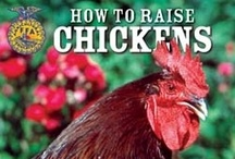 Chicken Keeping - Small Acreage Homesteading / Chicken keeping to every degree on 2 acres