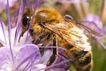 Bijen / Bijen sterven uit en daar zijn wij met z'n allen verantwoordelijk voor, gebruik géén gif dat is ook niet nodig!