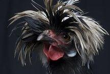 Backyard_chickens_style
