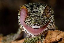 Nature // Geckos