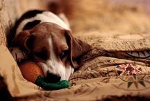 Beagles / by Christine Esoldo
