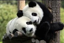 Pandas / by Sylvia Smith