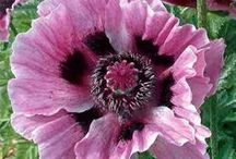 Gardening-Plants to Try / Varieties of flora that do not currently in my garden but that I would love to collect