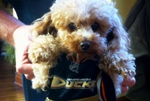 Ducks Dedication- PETS / A collection of fans and their pets showing their Dedication to the Anaheim Ducks! / by Anaheim Ducks