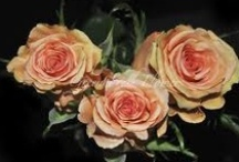 Cinder Rose for Winter