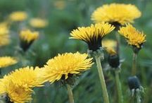 Weed Eater! / Information about edible wildcrafting of herbs and other plants