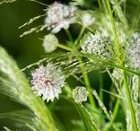 Pflanzenkombinationen / Plantcombinations / Pflanzen in ihrer Zusammenstellung: Stilvolle Kombinationen, auf alle Jahreszeiten abgestimmt,  ein Feuerwerk der Farben, strukturreich gestaltet und ökologisch wertvoll