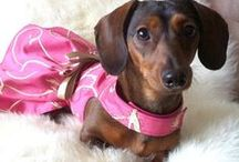 Dachshunds (and other dogs) to Die For! / dachshund  perfection / by Connie Mittermaier