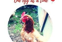 Chickens - One egg at a time / chickens, hens, what to feed chickens, chicken coops, chicken feed, chicken care