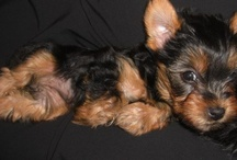 Terriers (or, I confess I'm a dog nerd) / Dogs, terrier, silky terrier