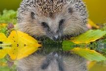 Hedgehog/porcupine