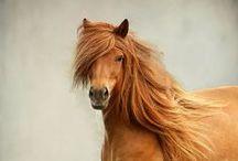 Horses, caballos, zaldiak