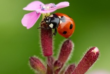 Ladybirds/Ladybugs/Lieveheersbeestjes