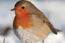 Robin bird/Roodborstje