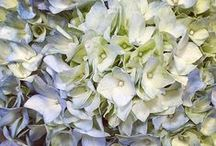 { hydrangea hues } / by design seeds