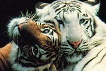 Animals | Wild Cats / #lions #tigers #cheetah #leopard #cats / by Gabrielle Ann