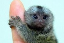 Animals | Asia & Australia / #pandabears #monkeys #asia #koalabear #kangaroo #australia / by Gabrielle Ann