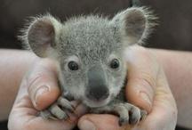 Animals | The Outback / #koalabear #kangaroo / by Gabrielle Ann