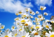 Daisies / My company is called DAISY Gifts Ltd, which shows how much I love daisies, dried or fresh. For more daisies, check out my chamomile board too!