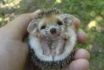 Hedgies just gotta love em / by Therese Dignard