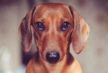 Doxie's