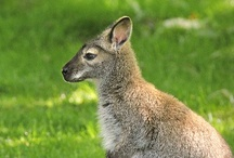 Australasia  / Australasia is home to wallabies, wallaroos and snow leopards at Woodland Park Zoo! / by WoodlandParkZoo