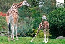 NEW! Giraffe Calf / by WoodlandParkZoo