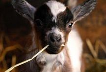 Goats and friends / by Heidi Keating