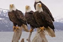 Eagles / Nature's beauty