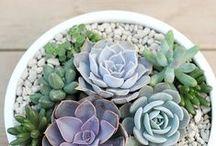 Home | Succulents