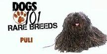 Animals - Nózi the Puli dog